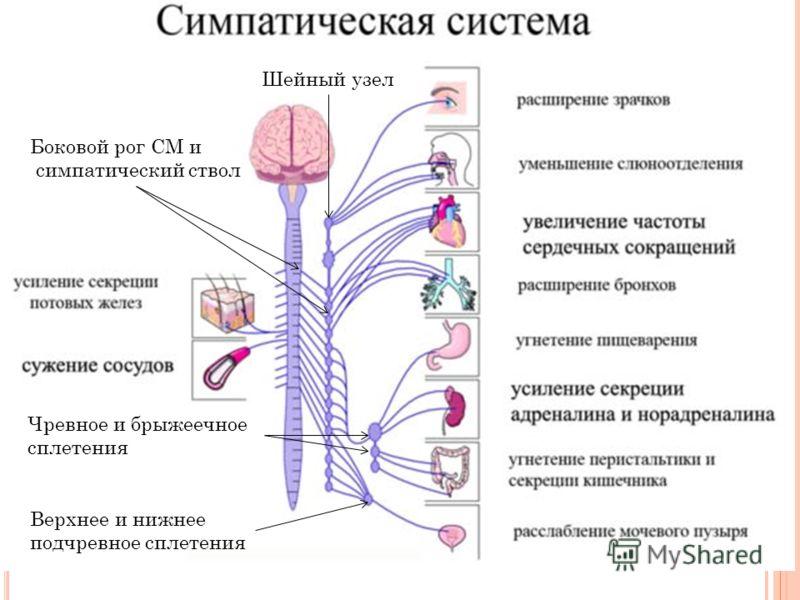 Шейный узел Боковой рог СМ и симпатический ствол Чревное и брыжеечное сплетения Верхнее и нижнее подчревное сплетения