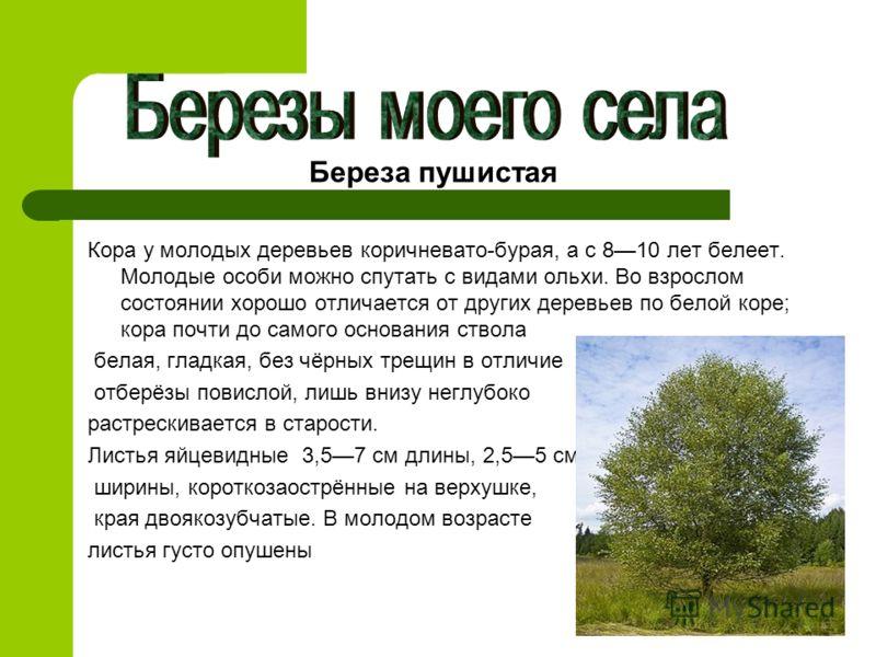 Кора у молодых деревьев коричневато-бурая, а с 810 лет белеет. Молодые особи можно спутать с видами ольхи. Во взрослом состоянии хорошо отличается от других деревьев по белой коре; кора почти до самого основания ствола белая, гладкая, без чёрных трещ