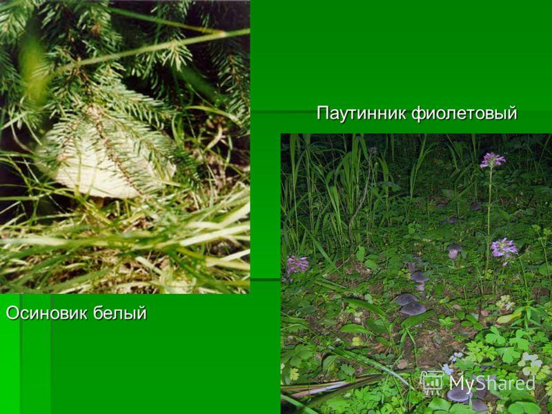 Осиновик белый Паутинник фиолетовый