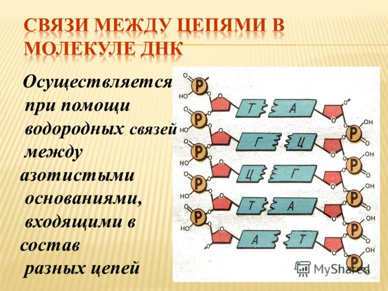 Осуществляется при помощи водородных связей между азотистыми основаниями, входящими в состав разных цепей