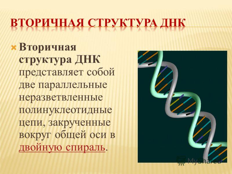 Вторичная структура ДНК представляет собой две параллельные неразветвленные полинуклеотидные цепи, закрученные вокруг общей оси в двойную спираль. двойную спираль