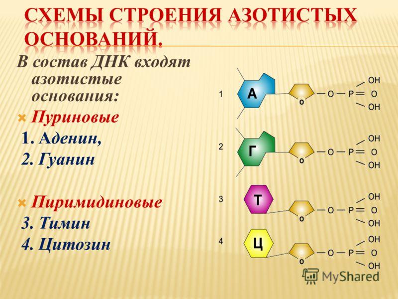 В состав ДНК входят азотистые основания: Пуриновые 1. Аденин, 2. Гуанин Пиримидиновые 3. Тимин 4. Цитозин