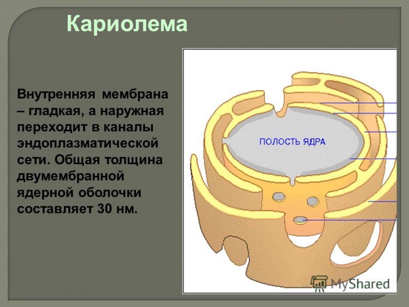 Внутренняя мембрана – гладкая, а наружная переходит в каналы эндоплазматической сети. Общая толщина двумембранной ядерной оболочки составляет 30 нм. Кариолема