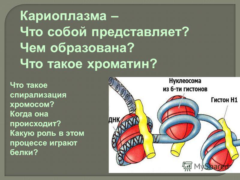 Кариоплазма – Что собой представляет? Чем образована? Что такое хроматин? Что такое спирализация хромосом? Когда она происходит? Какую роль в этом процессе играют белки?
