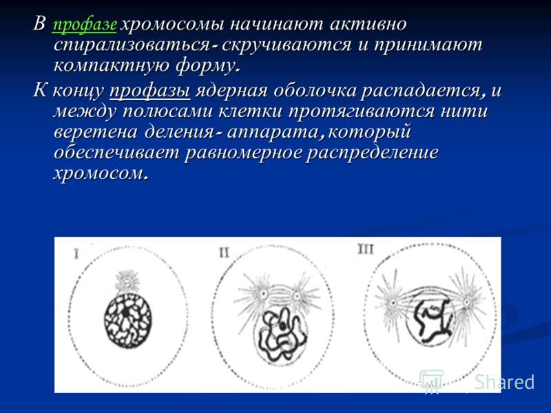 В профазе хромосомы начинают активно спирализоваться - скручиваются и принимают компактную форму. К концу профазы ядерная оболочка распадается, и между полюсами клетки протягиваются нити веретена деления - аппарата, который обеспечивает равномерное р