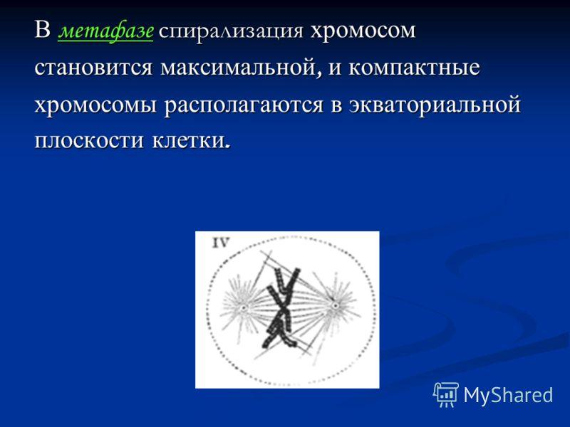 В метафазе спирализация хромосом становится максимальной, и компактные хромосомы располагаются в экваториальной плоскости клетки.