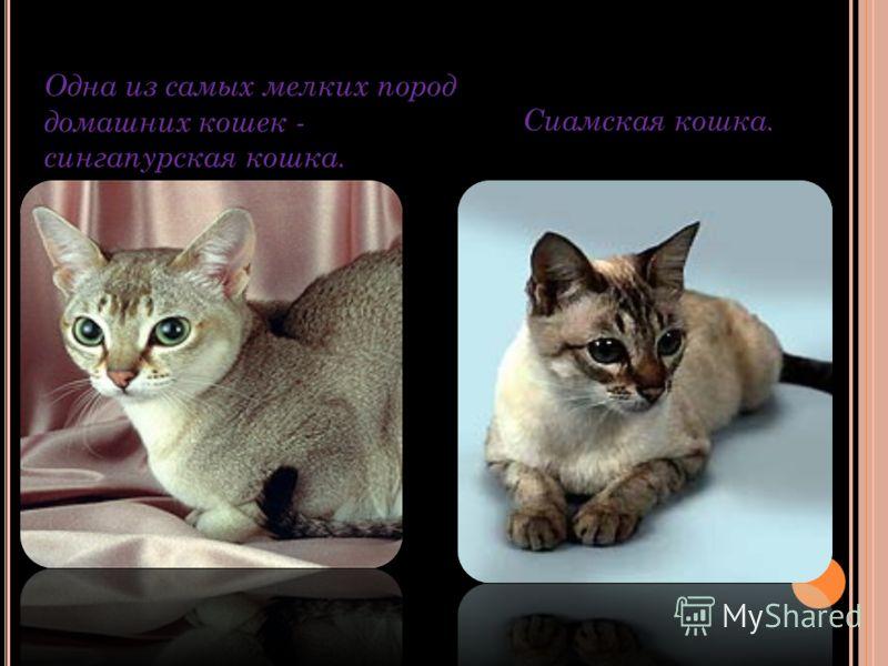 Одна из самых мелких пород домашних кошек - сингапурская кошка. Сиамская кошка.