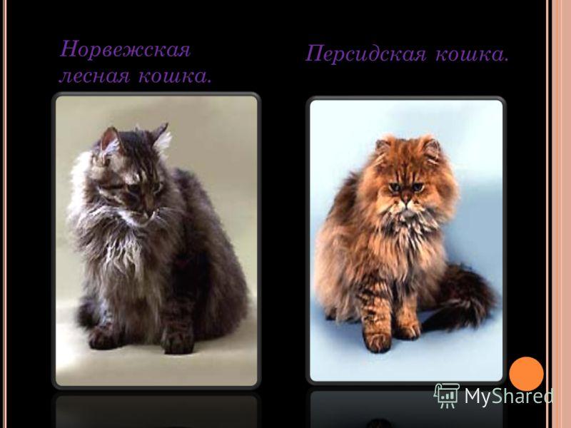 Норвежская лесная кошка. Персидская кошка.