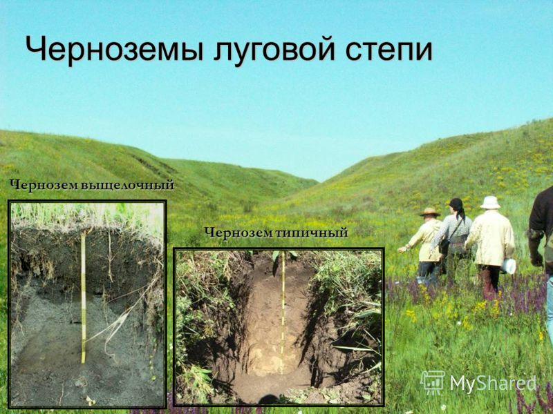 Чернозем выщелочный Чернозем типичный Черноземы луговой степи