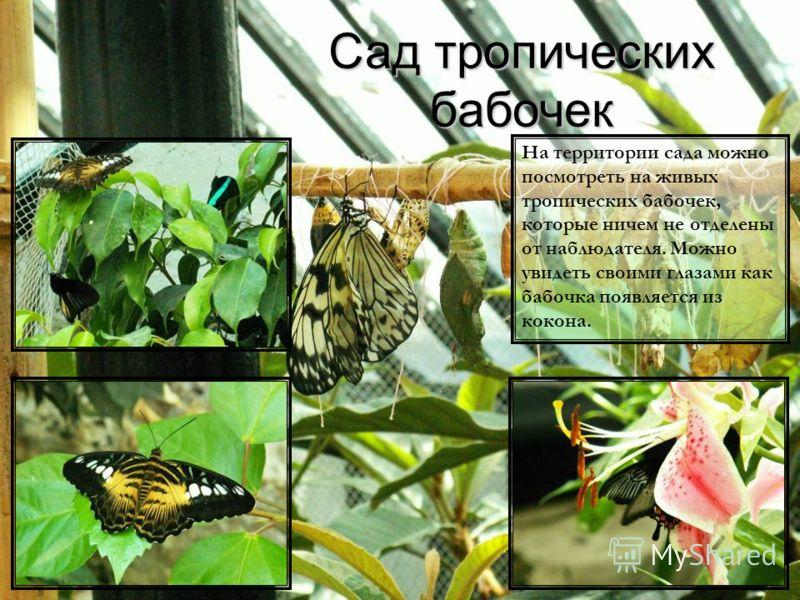Сад тропических бабочек На территории сада можно посмотреть на живых тропических бабочек, которые ничем не отделены от наблюдателя. Можно увидеть своими глазами как бабочка появляется из кокона.