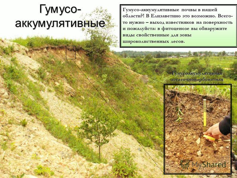 Гумусоакумулятивная остаточнокарбонатная Гумусо-аккумулятивные почвы в нашей области?! В Елизаветино это возможно. Всего- то нужно – выход известняков на поверхность и пожалуйста: в фитоценозе вы обнаружите виды свойственные для зоны широколиственных