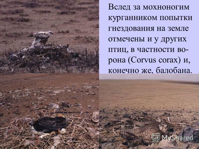 Вслед за мохноногим курганником попытки гнездования на земле отмечены и у других птиц, в частности во- рона (Corvus corax) и, конечно же, балобана.