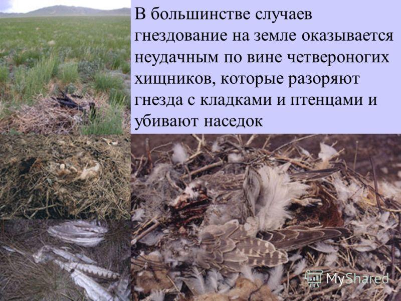 В большинстве случаев гнездование на земле оказывается неудачным по вине четвероногих хищников, которые разоряют гнезда с кладками и птенцами и убивают наседок