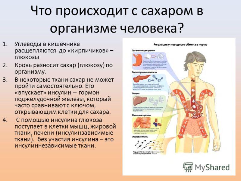 Что происходит с сахаром в организме человека? 1.Углеводы в кишечнике расщепляются до «кирпичиков» – глюкозы 2.Кровь разносит сахар (глюкозу) по организму. 3.В некоторые ткани сахар не может пройти самостоятельно. Его «впускает» инсулин – гормон подж