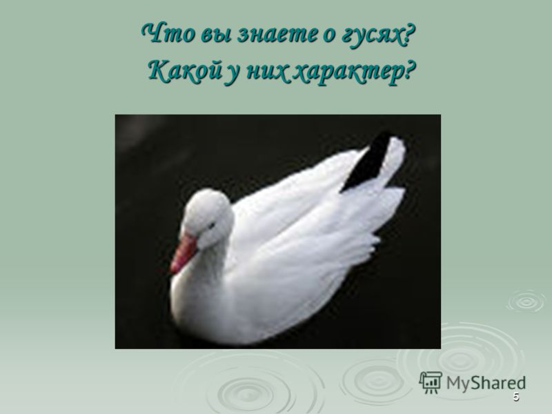 5 Что вы знаете о гусях? Какой у них характер?