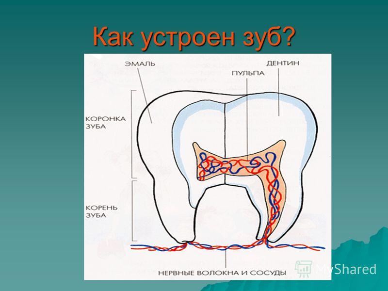 Как устроен зуб?