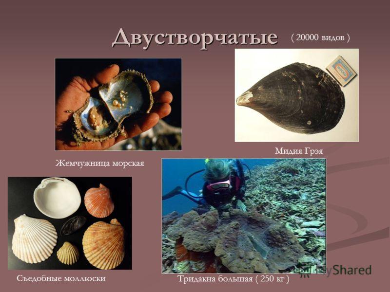 Двустворчатые Жемчужница морская Тридакна большая ( 250 кг ) Мидия Грэя Съедобные моллюски ( 20000 видов )