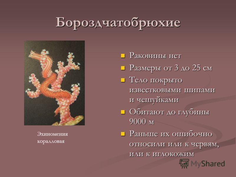 Бороздчатобрюхие Раковины нет Размеры от 3 до 25 см Тело покрыто известковыми шипами и чешуйками Обитают до глубины 9000 м Раньше их ошибочно относили или к червям, или к иглокожим Эхиномения коралловая