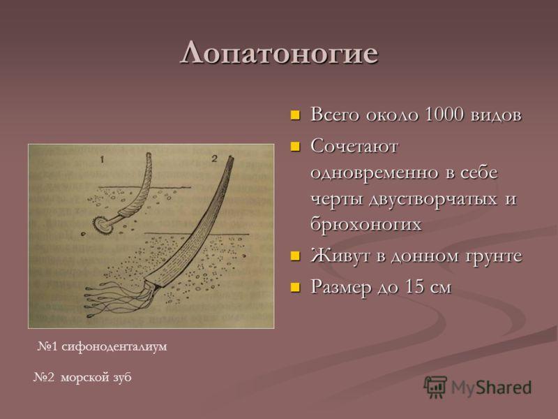 Лопатоногие Всего около 1000 видов Сочетают одновременно в себе черты двустворчатых и брюхоногих Живут в донном грунте Размер до 15 см 1 сифоноденталиум 2 морской зуб