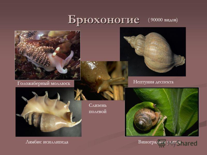 Брюхоногие Голожаберный моллюск Виноградная улитка Нептуния деспекта Лямбис исиллипеда ( 90000 видов) Слизень полевой