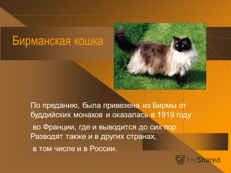 Ангорская кошка Сформировалась на территории Турции. Возможно, она произошла от скрещивания домашней местной и кавказской дикой (лесной). вое название унаследовала от г. Ангора (ныне Анкара - столица Турции).