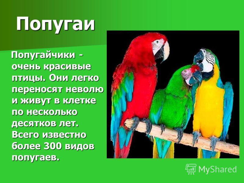 Попугайчики - очень красивые птицы. Они легко переносят неволю и живут в клетке по несколько десятков лет. Всего известно более 300 видов попугаев. Попугайчики - очень красивые птицы. Они легко переносят неволю и живут в клетке по несколько десятков