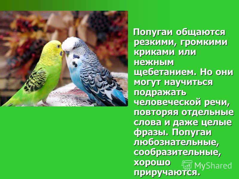 Попугаи общаются резкими, громкими криками или нежным щебетанием. Но они могут научиться подражать человеческой речи, повторяя отдельные слова и даже целые фразы. Попугаи любознательные, сообразительные, хорошо приручаются. Попугаи общаются резкими,
