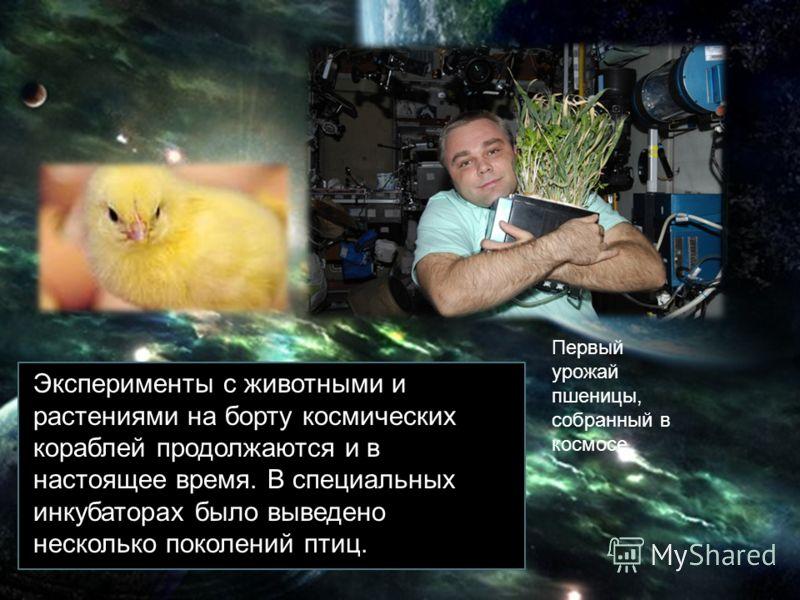 Эксперименты с животными и растениями на борту космических кораблей продолжаются и в настоящее время. В специальных инкубаторах было выведено несколько поколений птиц. Первый урожай пшеницы, собранный в космосе