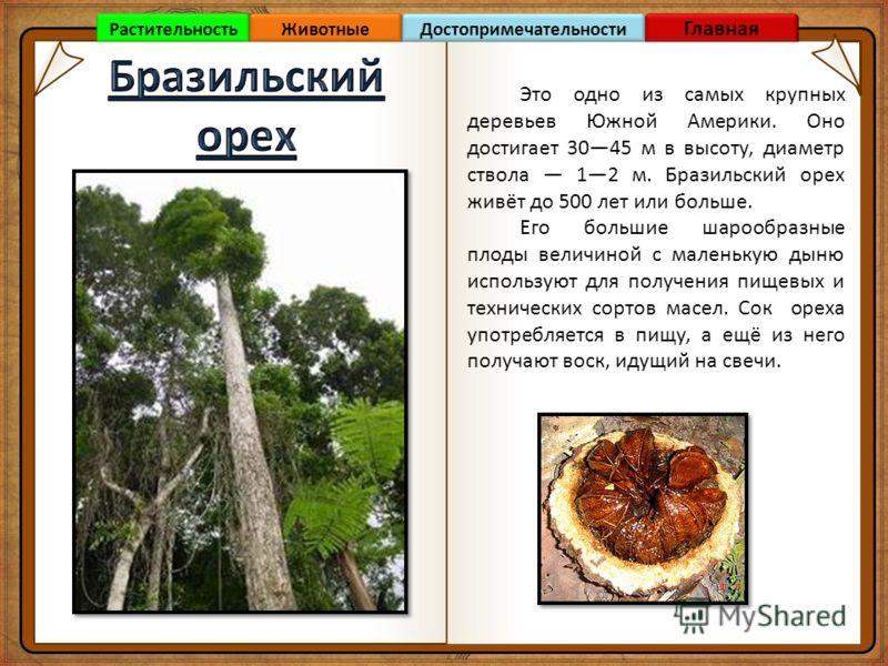 Это одно из самых крупных деревьев Южной Америки. Оно достигает 3045 м в высоту, диаметр ствола 12 м. Бразильский орех живёт до 500 лет или больше. Его большие шарообразные плоды величиной с маленькую дыню используют для получения пищевых и техническ
