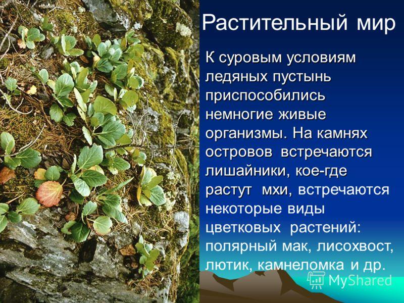 Растительный мир К суровым условиям ледяных пустынь приспособились немногие живые организмы. На камнях островов встречаются лишайники, кое-где растут мхи, растут мхи, встречаются некоторые виды цветковых растений: полярный мак, лисохвост, лютик, камн