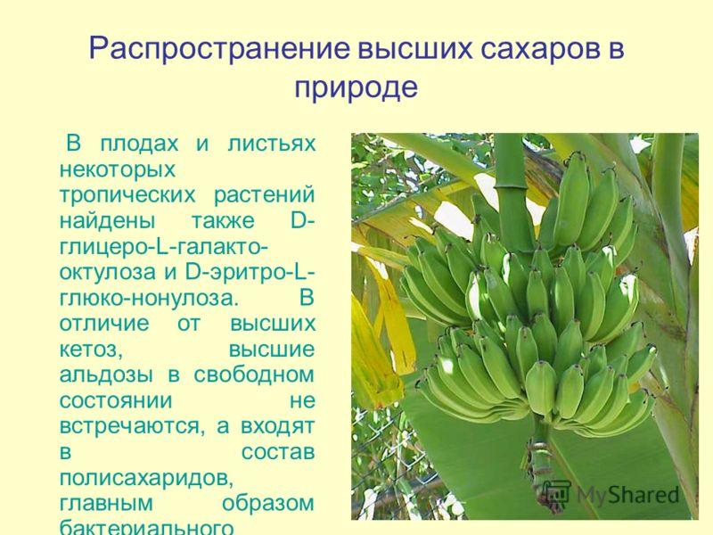 Распространение высших сахаров в природе В плодах и листьях некоторых тропических растений найдены также D- глицеро-L-галакто- октулоза и D-эритро-L- глюко-нонулоза. В отличие от высших кетоз, высшие альдозы в свободном состоянии не встречаются, а вх