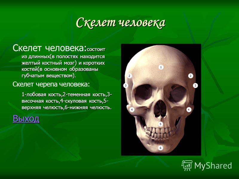Скелет человека : состоит из длинных(в полостях находится желтый костный мозг) и коротких костей(в основном образованы губчатым веществом). Скелет человека: состоит из длинных(в полостях находится желтый костный мозг) и коротких костей(в основном обр