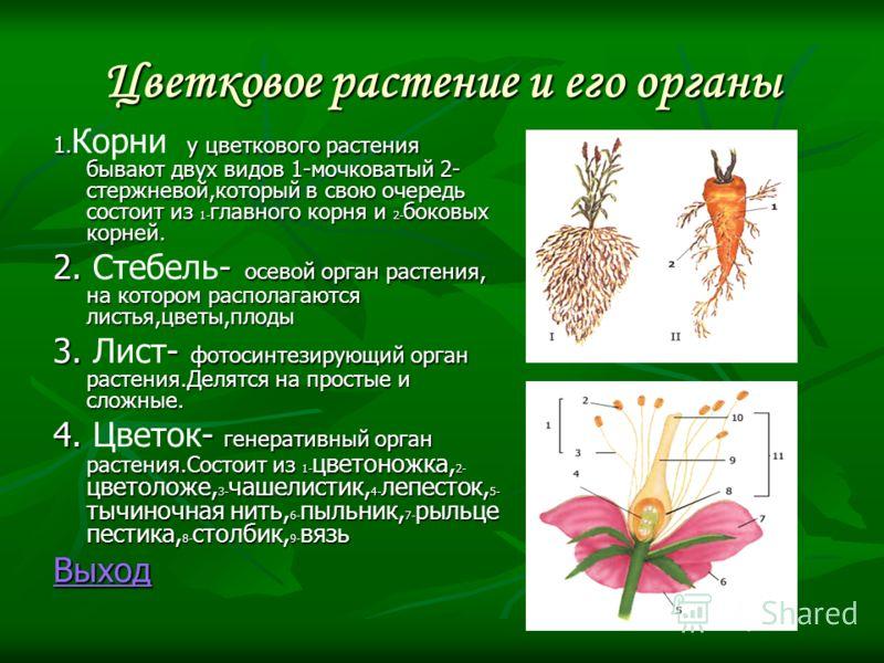 Цветковое растение и его органы 1. у цветкового растения бывают двух видов 1-мочковатый 2- стержневой,который в свою очередь состоит из 1- главного корня и 2- боковых корней. 1. Корни у цветкового растения бывают двух видов 1-мочковатый 2- стержневой