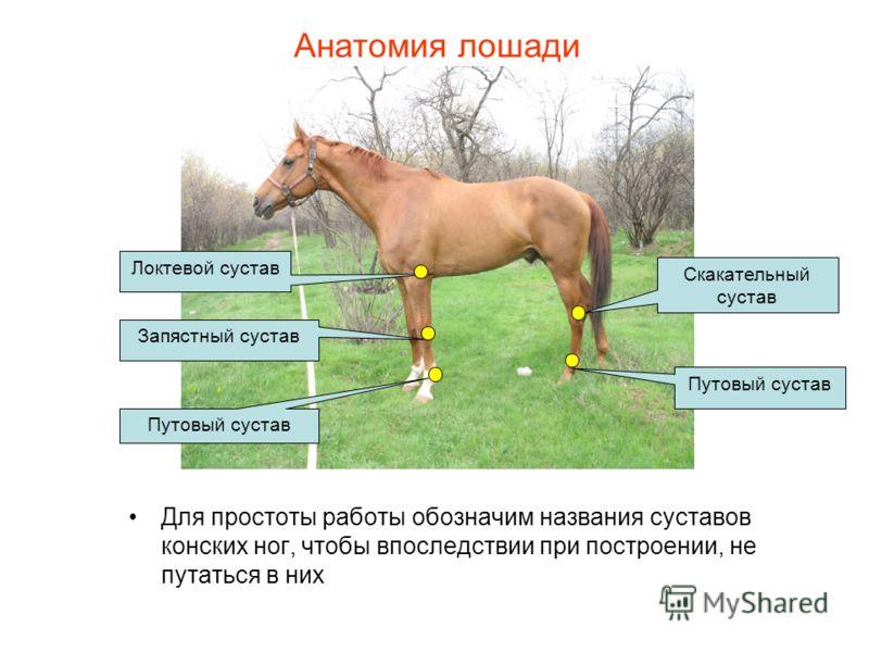 Анатомия лошади Для простоты работы обозначим названия суставов конских ног, чтобы впоследствии при построении, не путаться в них Скакательный сустав Путовый сустав Запястный сустав Локтевой сустав Путовый сустав