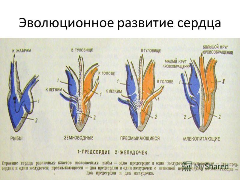Эволюционное развитие сердца