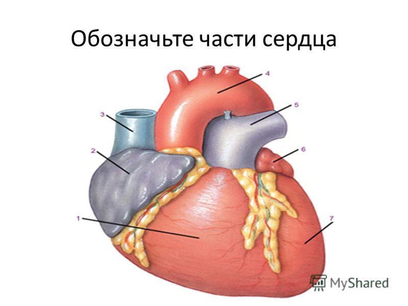 Обозначьте части сердца