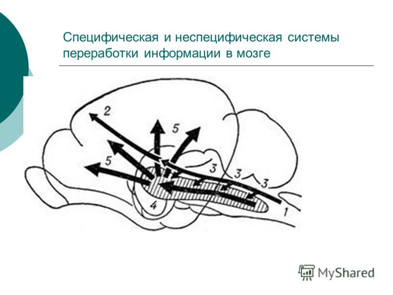Специфическая и неспецифическая системы переработки информации в мозге