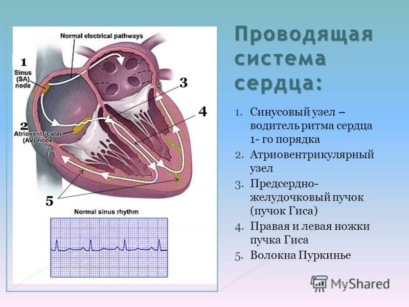 Проводящая система сердца: 1.Синусовый узел – водитель ритма сердца 1- го порядка 2.Атриовентрикулярный узел 3.Предсердно- желудочковый пучок (пучок Гиса) 4.Правая и левая ножки пучка Гиса 5.Волокна Пуркинье 2 1 4 3 5