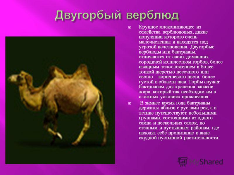 Крупное млекопитающее из семейства верблюдовых, дикие популяции которого очень малочисленны и находятся под угрозой исчезновения. Двугорбые верблюды или бактрианы, отличаются от своих домашних сородичей количеством горбов, более изящным телосложением