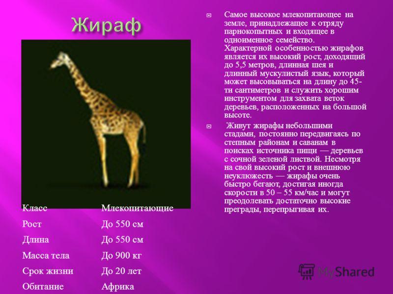 Самое высокое млекопитающее на земле, принадлежащее к отряду парнокопытных и входящее в одноименное семейство. Характерной особенностью жирафов является их высокий рост, доходящий до 5,5 метров, длинная шея и длинный мускулистый язык, который может в