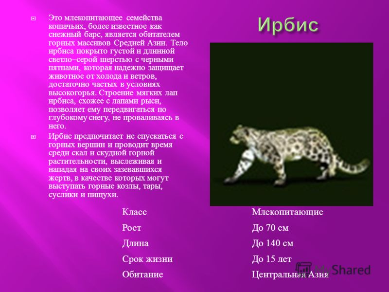 Это млекопитающее семейства кошачьих, более известное как снежный барс, является обитателем горных массивов Средней Азии. Тело ирбиса покрыто густой и длинной светло – серой шерстью с черными пятнами, которая надежно защищает животное от холода и вет
