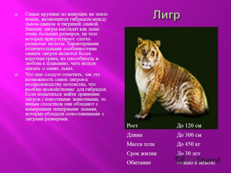 Самые крупные из живущих на земле кошек, являющиеся гибридом между львом самцом и тигрицей самкой. Внешне лигры выглядят как львы очень больших размеров, на теле которых присутствуют слегка размытые полосы. Характерными отличительными особенностями с