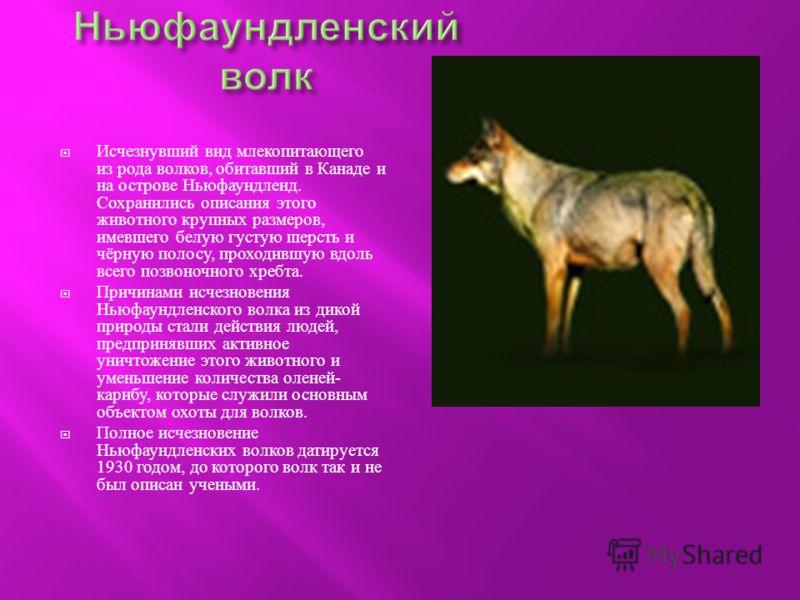 Исчезнувший вид млекопитающего из рода волков, обитавший в Канаде и на острове Ньюфаундленд. Сохранились описания этого животного крупных размеров, имевшего белую густую шерсть и чёрную полосу, проходившую вдоль всего позвоночного хребта. Причинами и