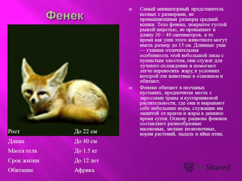 Самый миниатюрный представитель псовых с размерами, не превышающими размеры средней кошки. Тело фенека, покрытое густой рыжей шерстью, не превышает в длину 30 – 40 сантиметров, в то время как уши этого животного могут иметь размер до 15 см. Длинные у
