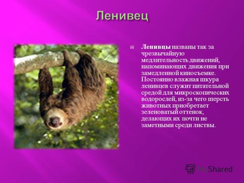 Ленивцы названы так за чрезвычайную медлительность движений, напоминающих движения при замедленной киносъемке. Постоянно влажная шкура ленивцев служит питательной средой для микроскопических водорослей, из - за чего шерсть животных приобретает зелено