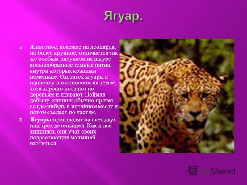 Животное, похожее на леопарда, но более крупное ; отличается так же особым рисунком на шкуре : кольцеобразные темные пятна, внутри которых крапины поменьше. Охотятся ягуары в одиночку и в основном на земле, хотя хорошо ползают по деревьям и плавают.