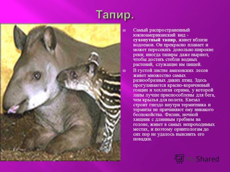 Самый распространенный южноамериканский вид - сухопутный тапир, живет вблизи водоемов. Он прекрасно плавает и может пересекать довольно широкие реки ; иногда тапиры даже ныряют, чтобы достать стебли водных растений, служащие им пищей. В густой листве