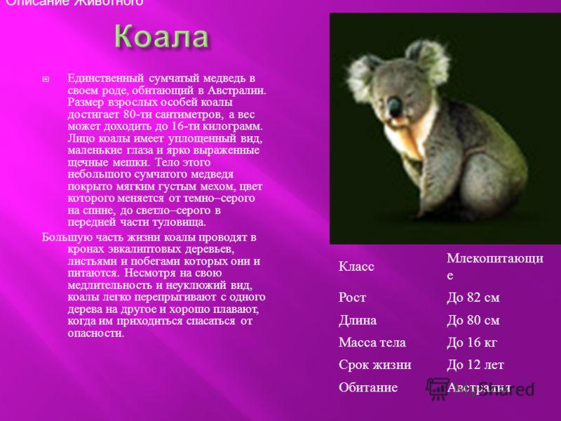 Единственный сумчатый медведь в своем роде, обитающий в Австралии. Размер взрослых особей коалы достигает 80- ти сантиметров, а вес может доходить до 16- ти килограмм. Лицо коалы имеет уплощенный вид, маленькие глаза и ярко выраженные щечные мешки. Т