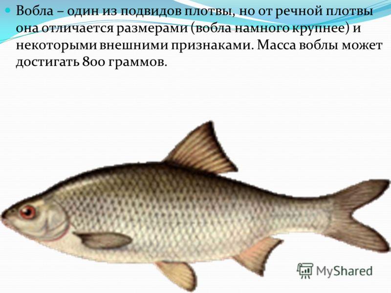 Вобла – один из подвидов плотвы, но от речной плотвы она отличается размерами (вобла намного крупнее) и некоторыми внешними признаками. Масса воблы может достигать 800 граммов.