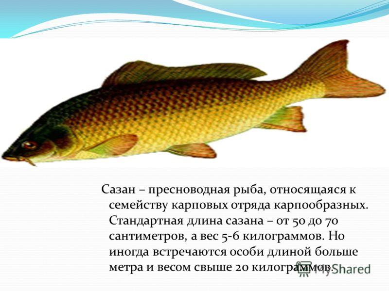 Сазан – пресноводная рыба, относящаяся к семейству карповых отряда карпообразных. Стандартная длина сазана – от 50 до 70 сантиметров, а вес 5-6 килограммов. Но иногда встречаются особи длиной больше метра и весом свыше 20 килограммов.